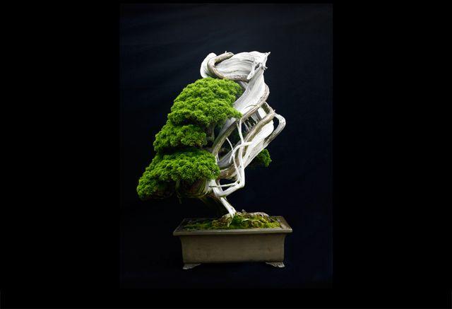 500 years old bonsai
