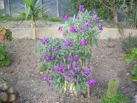 Es una planta perenne de flores muy bonitas ,existen numerosas variedades ,florecen de primavera a principios de ot...