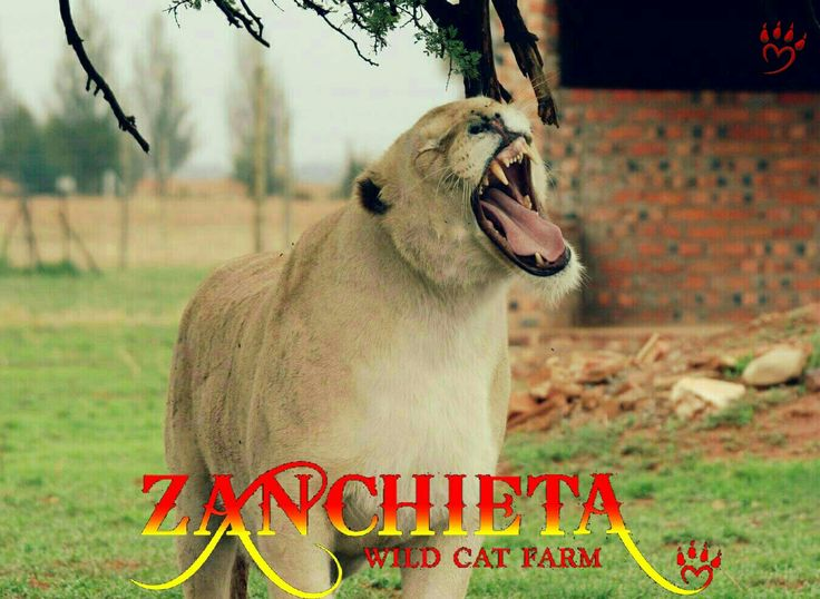 Princess #roarrr #zanchietawildcatfarm #lions #save #animals #haven #whitelion