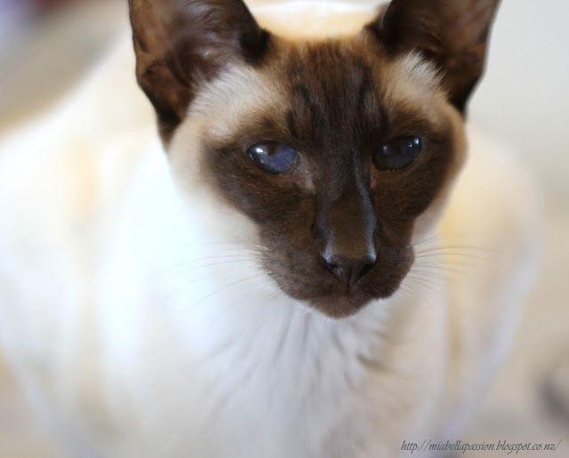 Mia Bella Passions:  Siamese cat