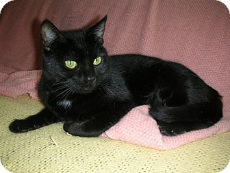 Midway City, CA - Domestic Shorthair. Meet Rose, a cat for adoption. http://www.adoptapet.com/pet/12028733-midway-city-california-cat