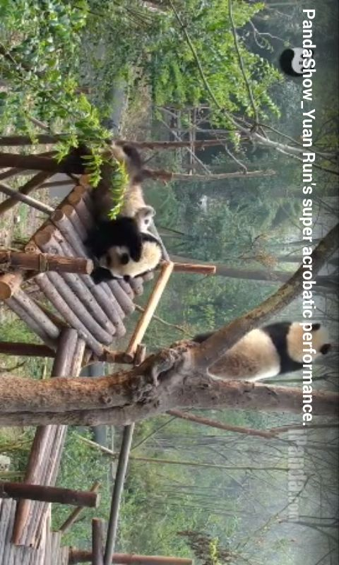 LIVE CAM and FUN VIDEO CLIPS for GIANT PANDAS located in Chengdu Research Base of Giant Panda Breeding  Giant pandas are black and white bears that live in temperate-zone bamboo forests in central China. Among the best recognized—but rarest—animals in the world, they have come to symbolize endangered species and conservation efforts. As few as 1,600 giant pandas survive in the mountain forests of central China. More than 300 pandas live in zoos and breeding centers around the world; ...