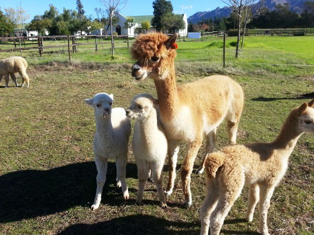 Ever wanted to cuddle an Alpaca? Head to Helderstroom Alpacas just outside Villiersdorp to experience all the fluffy magic! These creatures are as cuddly as they look #travel #alpaca #cute #villiersdorp Read more: http://www.news24.com/Travel/Guides/Weekend-Escapes/5-things-to-do-in-Villiersdorp-20130517