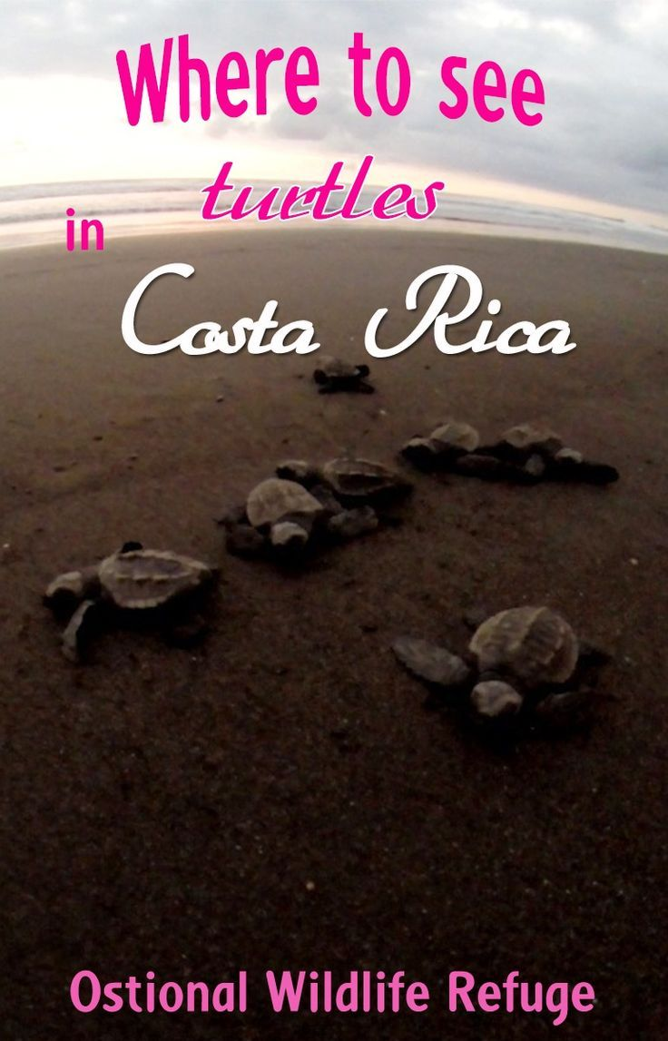 Seeing sea turtles is a memorable experience in Costa Rica and there are several places where you can see mother turtles lay eggs or baby turtles hatching. Ostional National Wildlife Refuge is one of the best to see the Olive Ridley sea turtles, you can read more about visiting the refuge here
