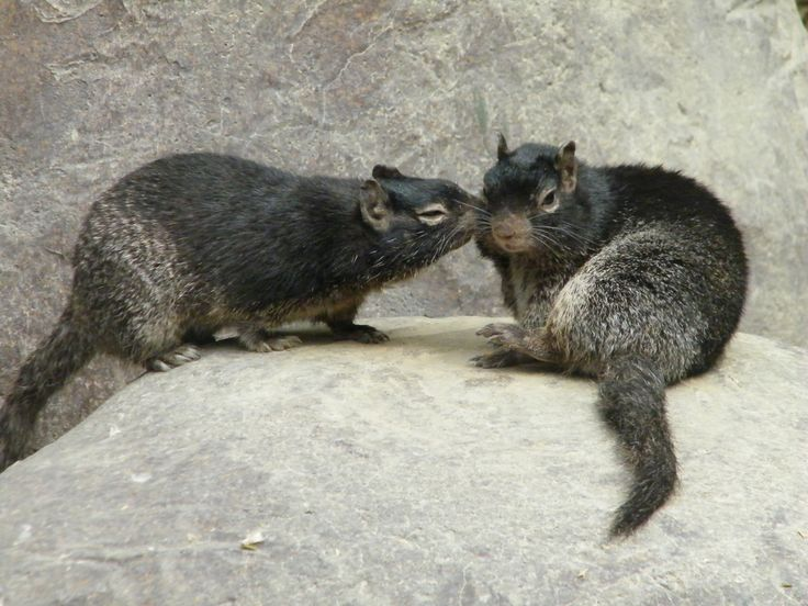 https://flic.kr/p/89ZqGB | Come on, give me a little kiss | Two rock squirrels sharing a kiss (or does one want a kiss while the other refuses....)  Taken at Rotterdam Zoo (Diergaarde Blijdorp), the Netherlands, on June 12, 2010.