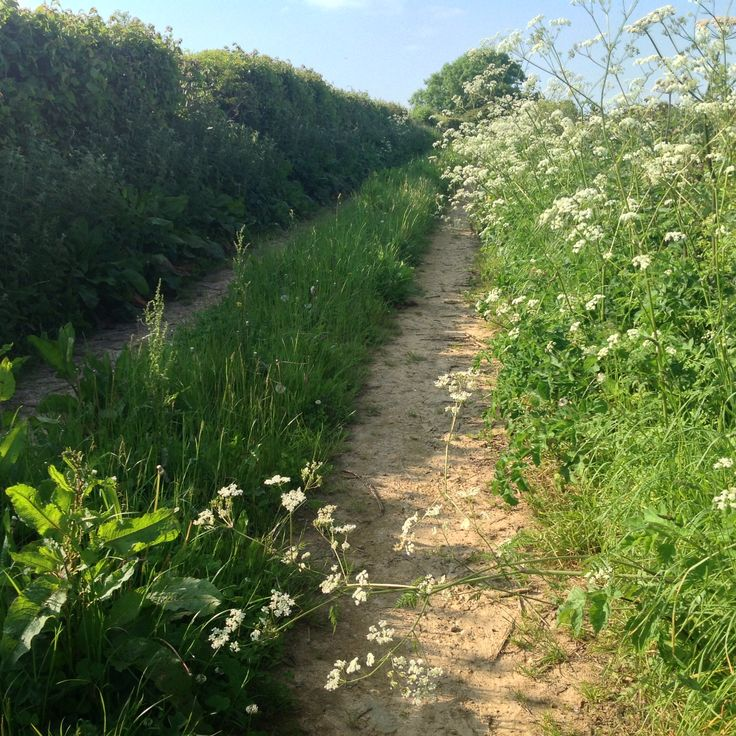 Cow parsley up the lane