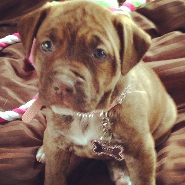 Pit bull boxer mix puppy. Precious