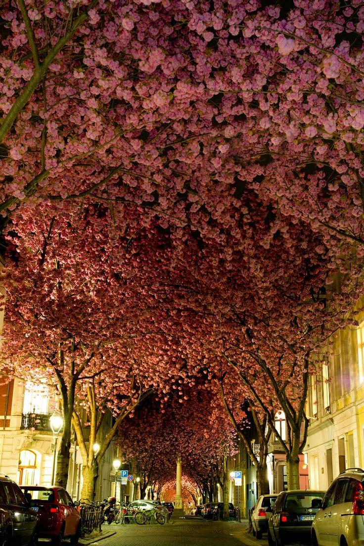 Cherry trees inbloom, Germany