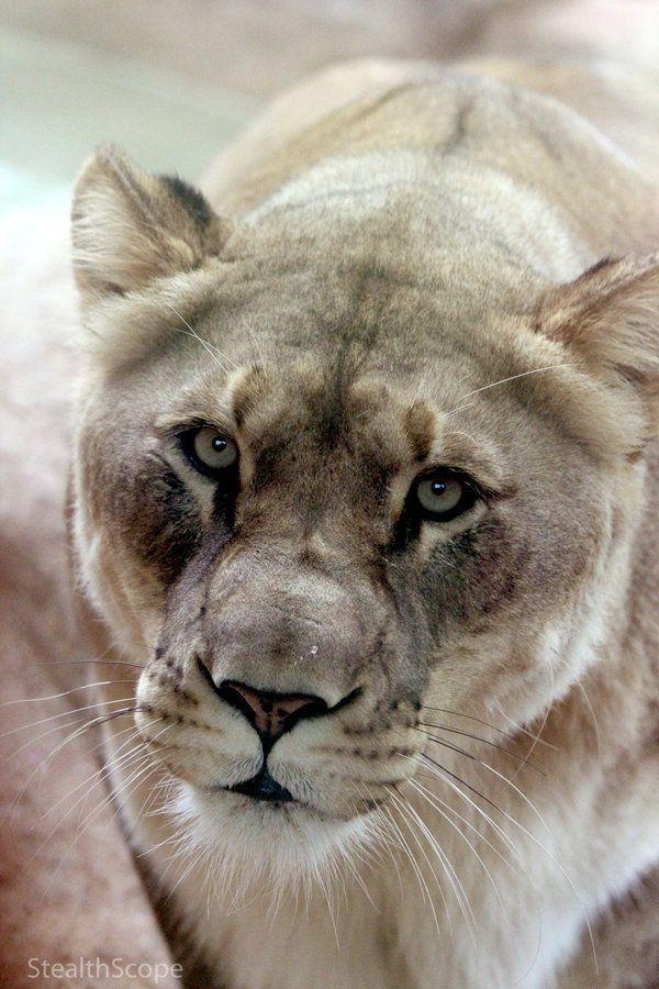 Mountain Lion ~ StealthScope by VoyageVisuelle