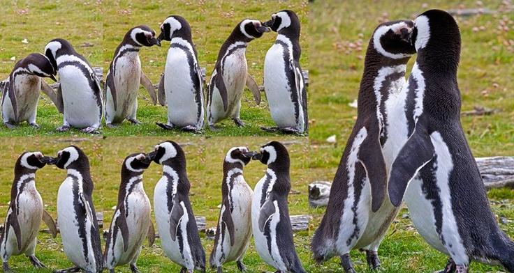 Sequenza del bacio dei Pinguini di Magellano.