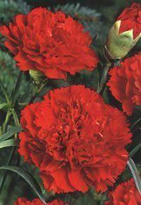 CLAVEL GIGANTE ROJO - Dianthus c. - 50 Semillas Seeds | eBay                                                                                                                                                                                 Más