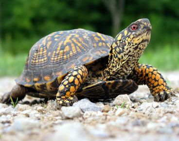 I like turtles: Boxes Turtles,  Boxes Tortoises, Boxes Turtle'S, Google Search, Animal Facts, Turtlessea Turtlestortoi, Favorite Animal, Boxes Tortoies, Boxturtl