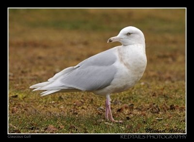 I love our seagulls even though they are a scavenger bird like the crows.