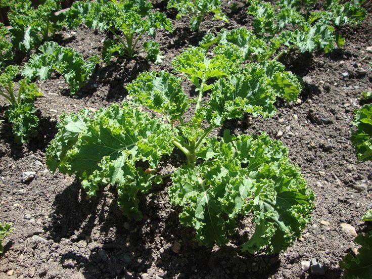 Le chou Kale, un petit chou plein de promesses ! - Blog Jardin Alsagarden - le magazine des jardiniers curieux