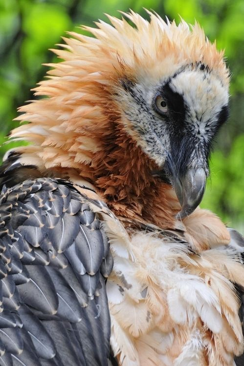 something-everything-nothing: Bearded Vulture Portrait by Josef Gelernter on Fivehundredpx