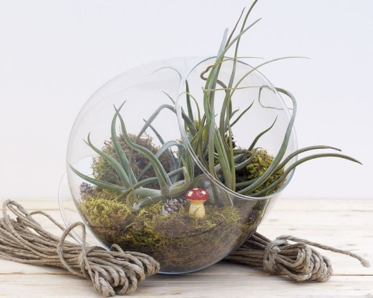Air Plant Terrarium from Airplants.gr #Tillandsia #Baileyi #Circinata #AirPlant #Terrarium
