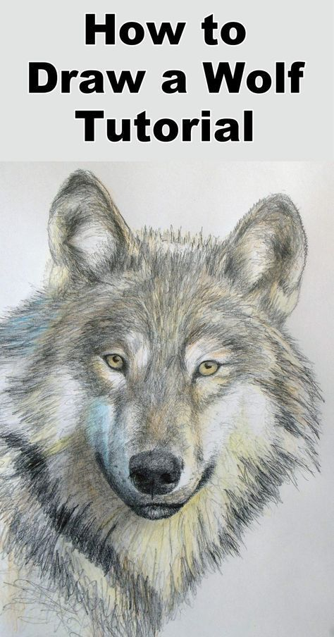 How to draw a Wolf  using color pencils step by step tutorial