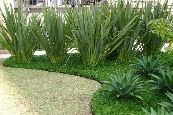 Fórmio-verde com Agaves para o jardim de entrada de um Edifício comercial.
