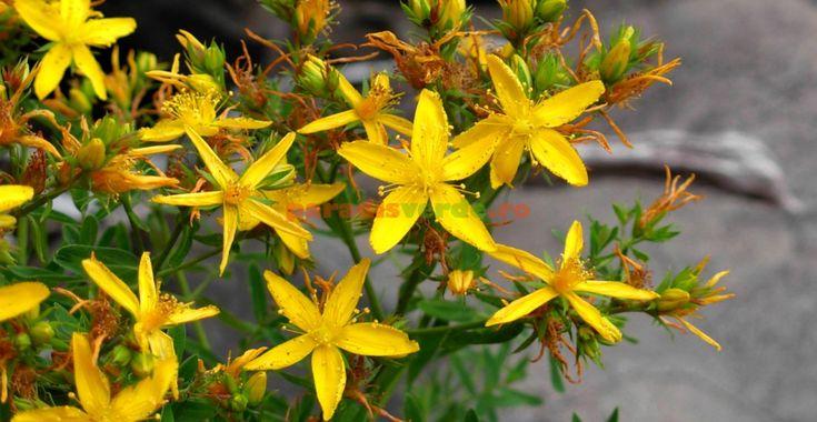 Sunătoarea (pojarnița), o plantă cât o farmacie | Paradis Verde