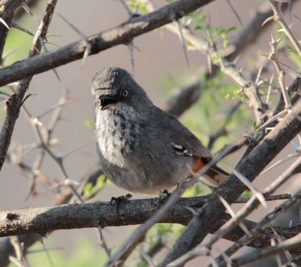 Bosveldtjeriktik (Chestnut-vented Tit-Babbler) Mabalingwe, Bela Bela, South Africa