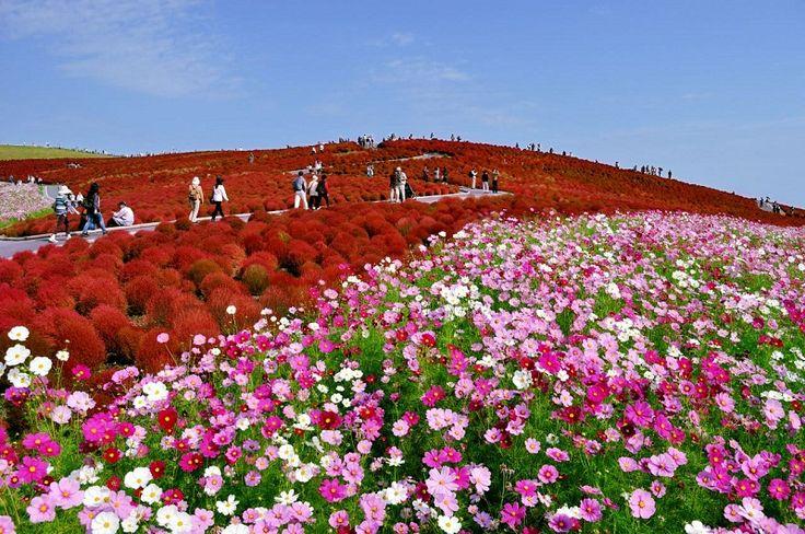 Se você vai para o Japão, precisa conhecer o parque Hitachi Seaside, famoso por cultivar plantas de cores vibrantes, as quais formam belos tapetes naturais.