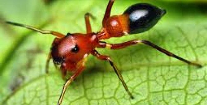 More than 300 kinds of spiders are pretending to be ants