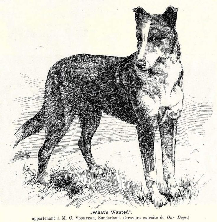 Vintage Smooth Collie image.