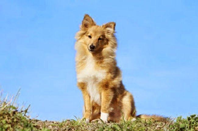Psy rasy Owczarek Szetlandzki