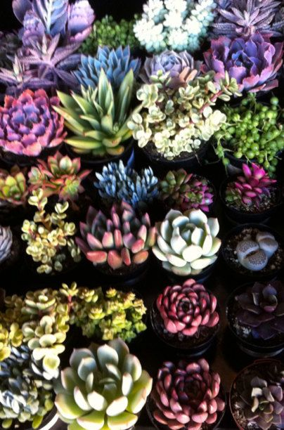 You Choose Succulent Plants - A Variety Of 30 Wonderful Succulents For Terrariums, Centerpieces, Boutonnieres and More via Etsy