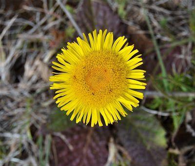 Flora da Serra da Arrábida: Erva-montã - Pulicaria odora