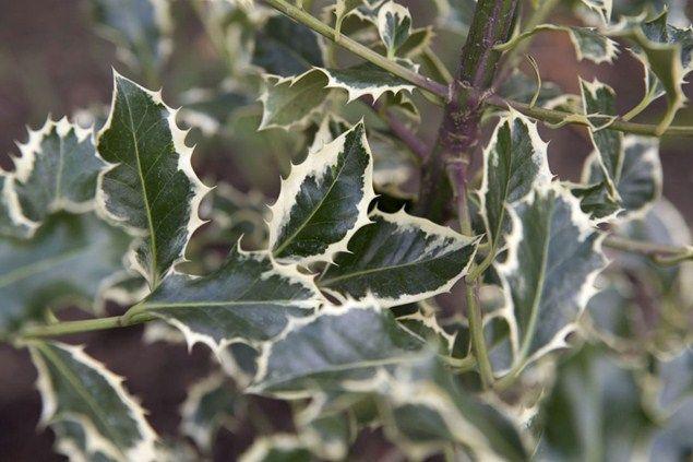 Ilex aquifolium 'Aurea Marginata'