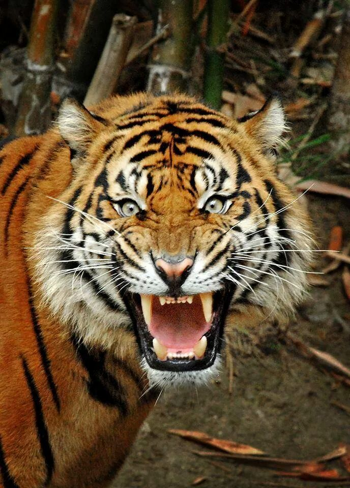 Large Animal Rage Tiger B/&W Canvas Wall Art Pictures