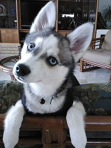 Picture of Kairi, a female Alaskan Klee Kai