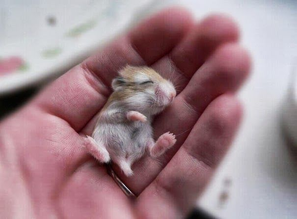 Hamster chines <3
