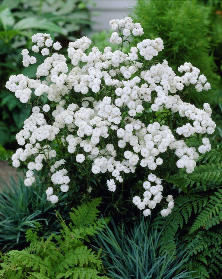белочка белый жемчуг цветы фото миссия