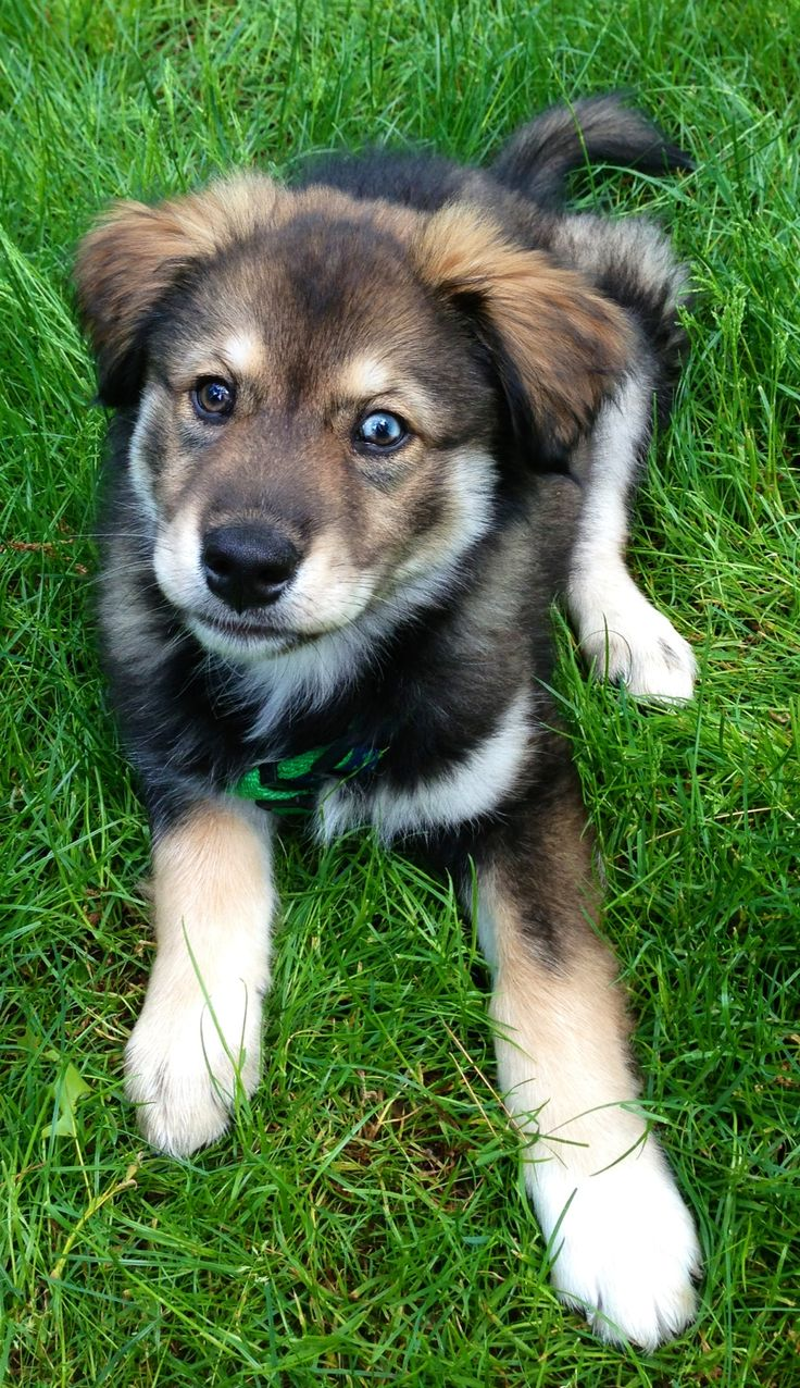 Maverick - our husky golden retriever puppy