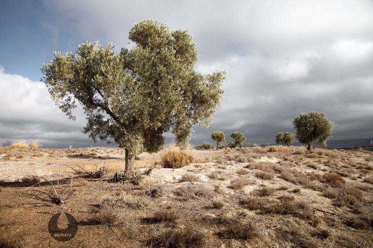 Une équipe de chercheurs de l'Université de Malaga (UMA) a conclu que la consommation de polyphénols présents dans l'huile d'olive vierge réduit de 30% les maladies cardio-vasculaires