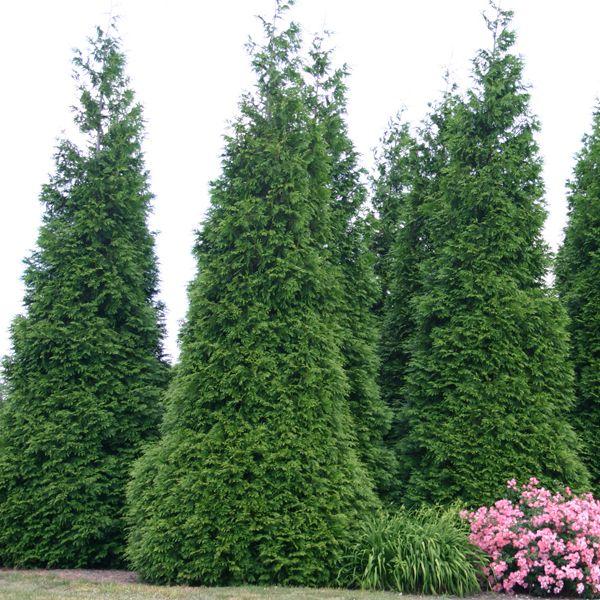 Green Giant Arborvitae for Sale Online – Greener Earth Nursery