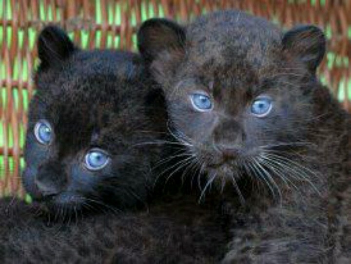 animal panthers cubs - photo #8