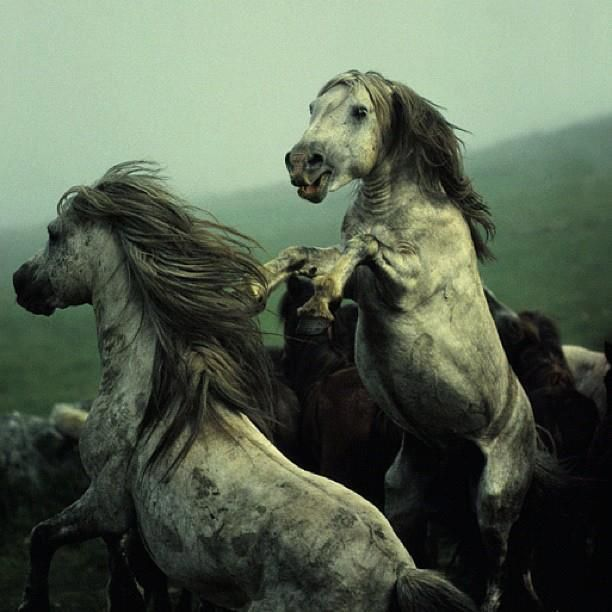 Wonderful photo of wild horses in Galicia, Spain by David Alan Harvey.