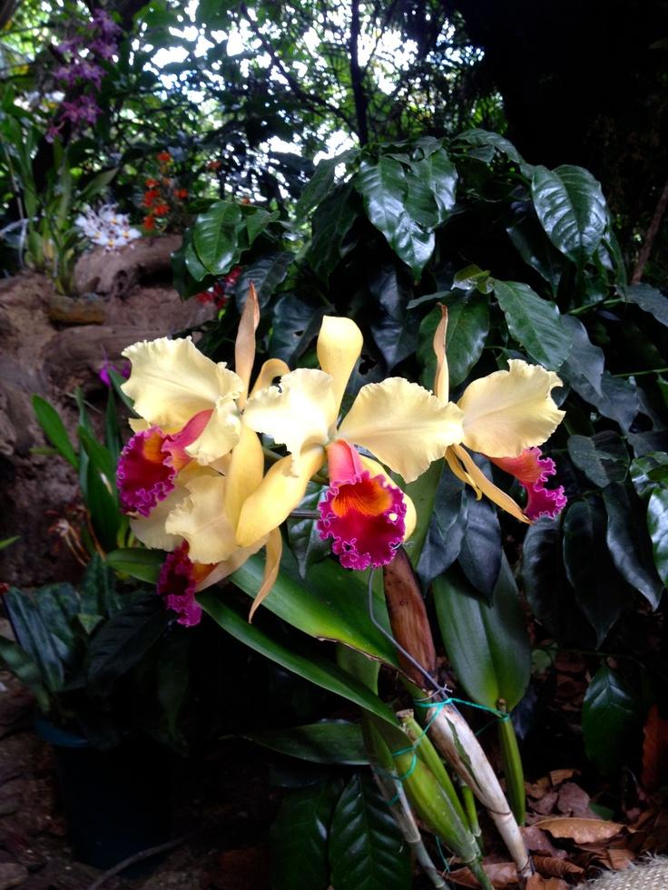 Una buena combinación entre la orquídea y la mata de café. Dos insignias de Colombia.