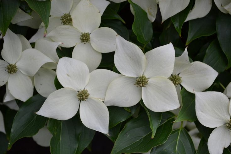 How to propagate and grow Milky Way Chinese Dogwood ...