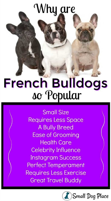 Why Is The French Bulldog Dog Breed So Popular French Bulldog