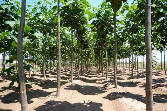 La Paulownia spp. es el único género con especies arbóreas de la familia Scrophulariaceae, las cuales son por lo general herbáceas. Las 9 especies de este