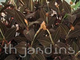 Resultado de imagem para tipos de orquídeas terrestres