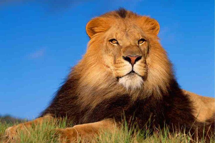 Интересные факты о львах http://apral.ru/2017/04/24/interesnye-fakty-o-lvah/  Львы с давних времен считаются самыми сильными и опасными животными. Существует несколько интересных фактов о грозном хищнике, которые, возможно, не [...]