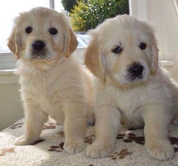 Golden puppy pair