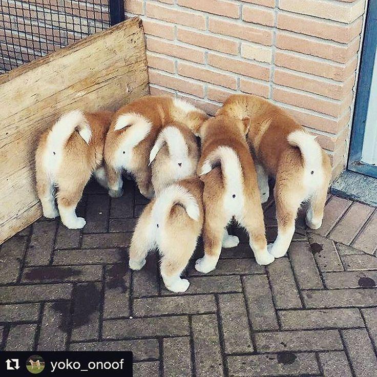 いいね!742件、コメント9件 ― Akita&Shiba love worldさん(@akita_shiba.club)のInstagramアカウント: 「......  @yoko_onoof  18-02-17  #ass #akita #nofilter #love #dog」