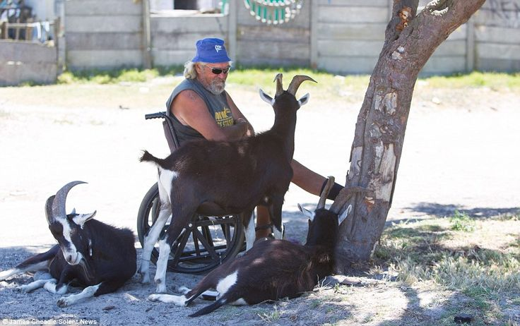 A man sits in a wheelchair, surrounded by three goats, as he takes shelter under a tree from the boiling hot sun.