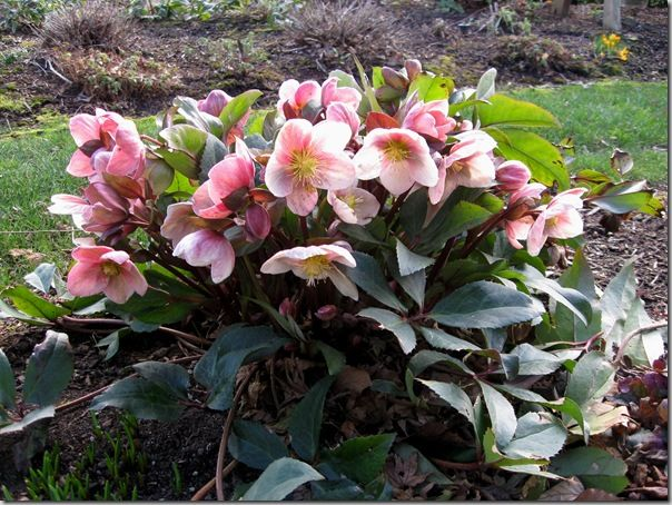 17 best images about helleborus on pinterest shade plants deer and early spring. Black Bedroom Furniture Sets. Home Design Ideas